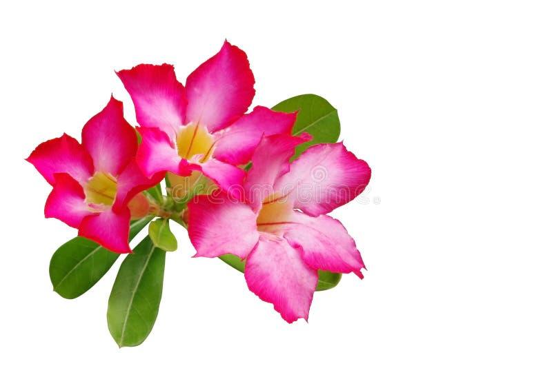 De woestijn nam (Impalalelie, Onechte Azalea) roze die bloem op w wordt geïsoleerd toe royalty-vrije stock afbeelding