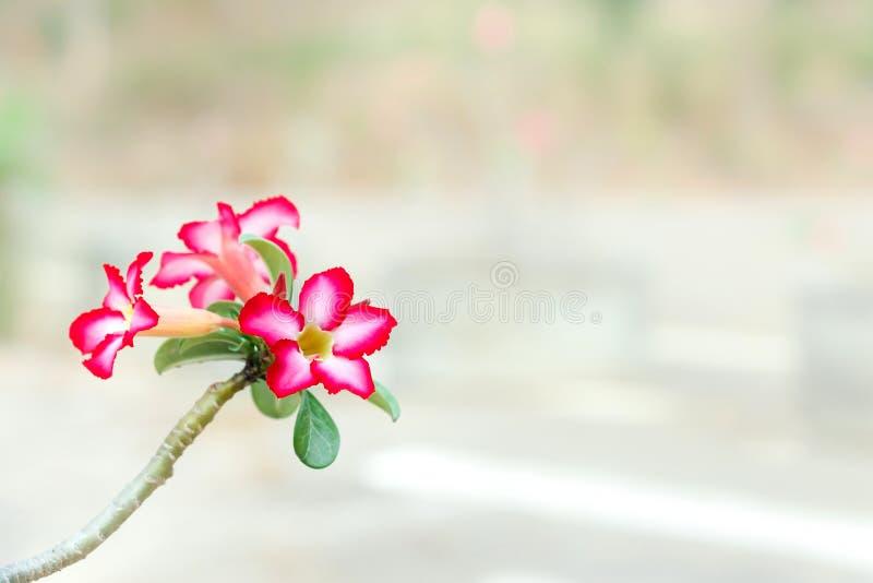 De woestijn namen/de Impalalelie/de bloem van Adenium het Roze onduidelijke beeld Als achtergrond toe stock afbeelding