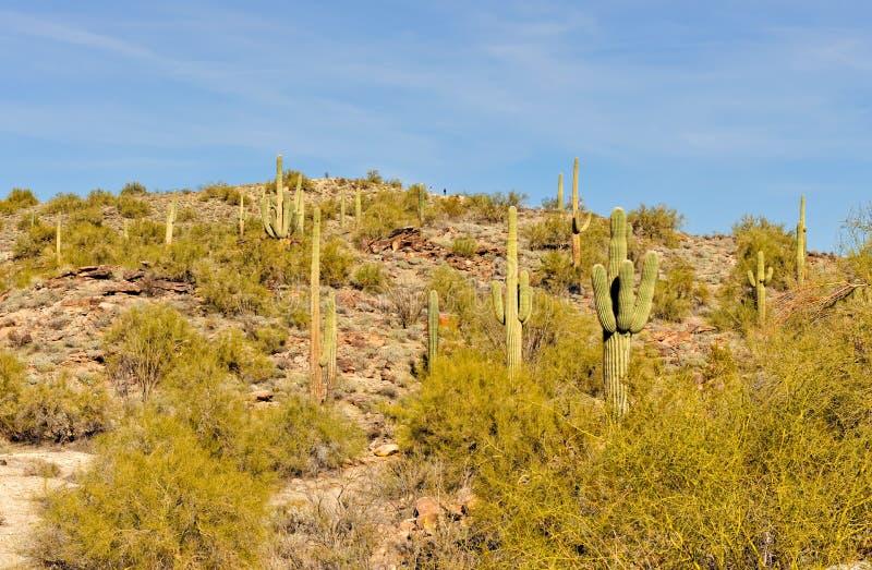 De woestijn van de cactusArizona van Saguaro stock foto's