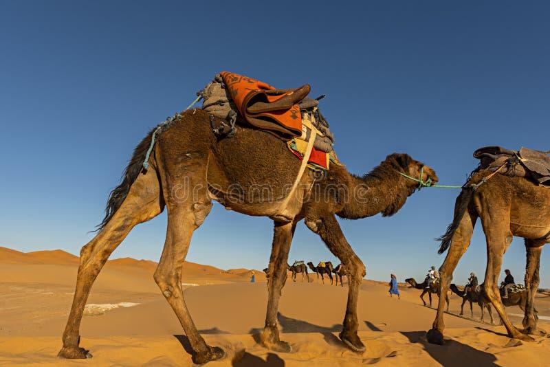 De woestijn van de Sahara, Marokko Belangrijke de kameelcaravan gaand t van de Berbermens stock foto's