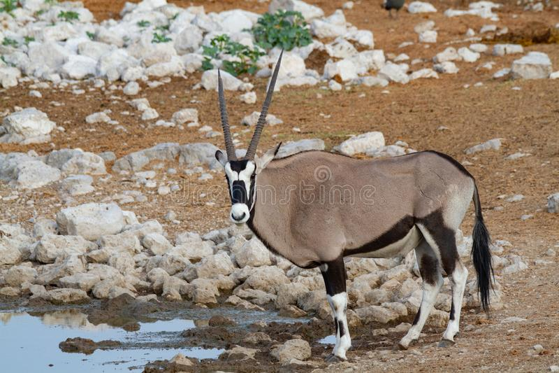 De woestijnen en de aard van Gemsbok oryx Namibië in nationale parken royalty-vrije stock afbeeldingen