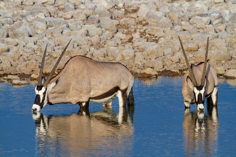 De woestijnen en de aard van Gemsbok oryx Namibië in nationale parken stock foto