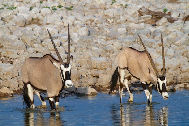 De woestijnen en de aard van Gemsbok oryx Namibië in nationale parken royalty-vrije stock foto's