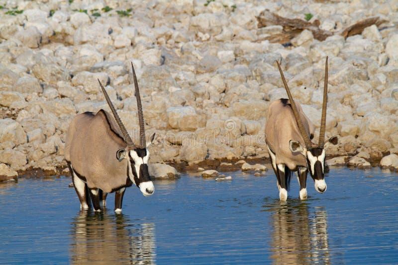 De woestijnen en de aard van Gemsbok oryx Namibië in nationale parken royalty-vrije stock afbeelding