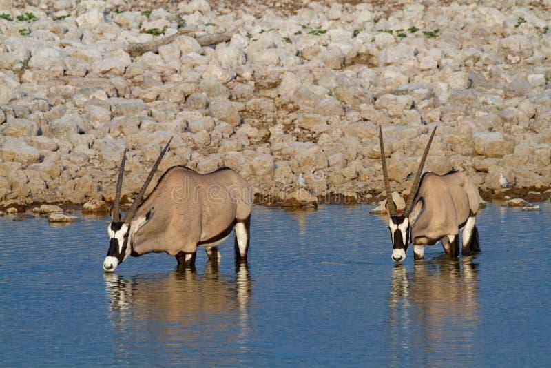 De woestijnen en de aard van Gemsbok oryx Namibië in nationale parken stock fotografie