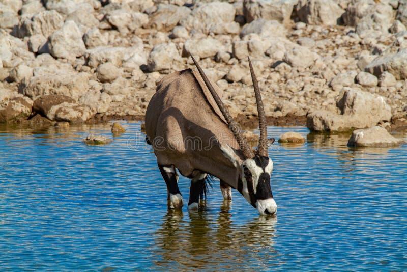 De woestijnen en de aard van Gemsbok oryx Namibië in nationale parken stock afbeeldingen