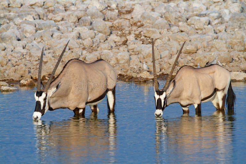 De woestijnen en de aard van Gemsbok oryx Namibië in nationale parken royalty-vrije stock foto