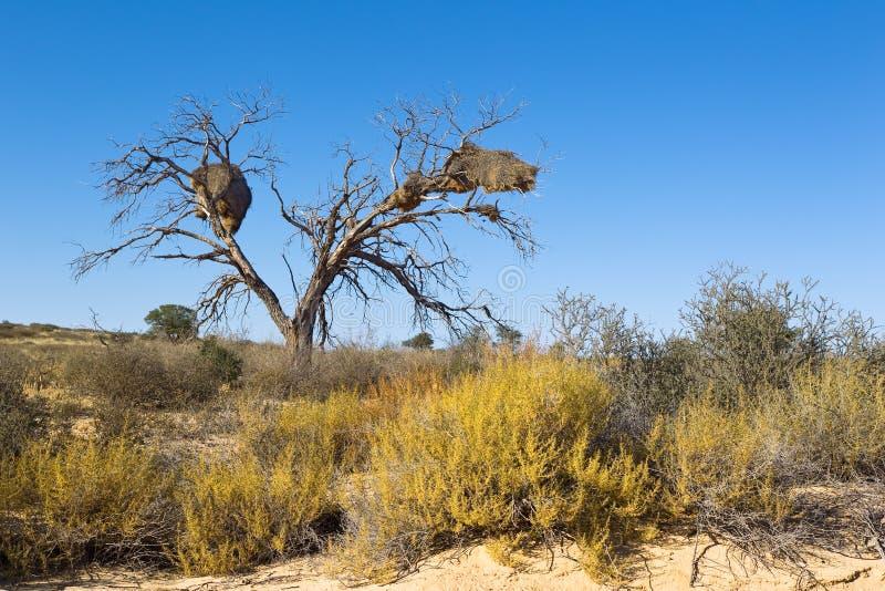 De woestijnlandschap van Kalahari met de nesten van de Weversvogel stock afbeeldingen