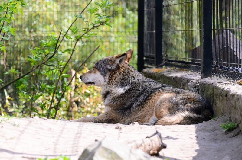 De wolf achter de omheining rust het liggen op het gras en merkwaardig het kijken royalty-vrije stock fotografie
