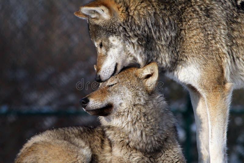 De wolf van de moeder en van de zoon stock foto's
