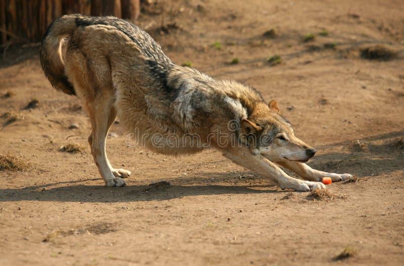 De wolf van de steppe stock foto's