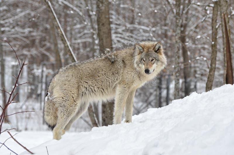De wolf van het hout royalty-vrije stock foto