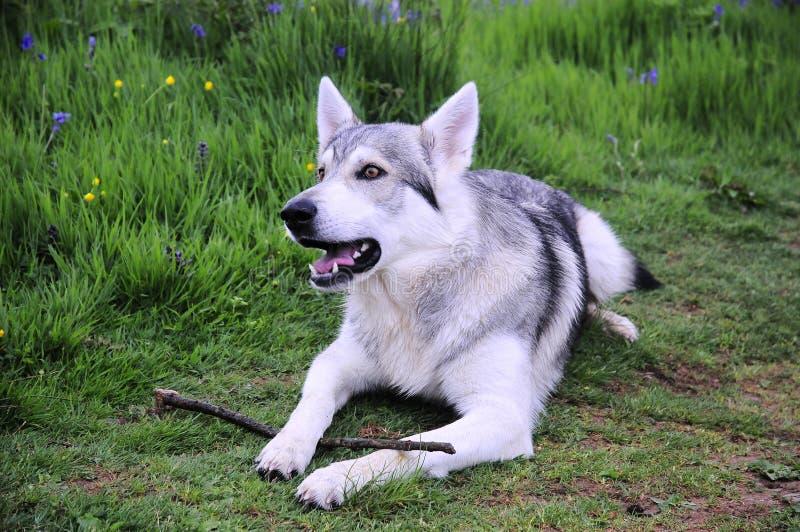 De wolfshond van Inuit stock foto's