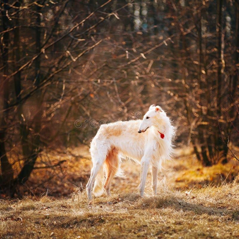 De Wolfshondhoofd van de hond Russisch Barzoi, in openlucht stock afbeelding