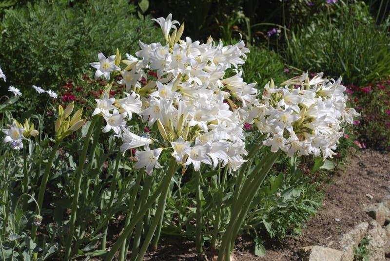 De wolfskers & x27 van Amaryllis; Witte Queen& x27; bloemen royalty-vrije stock afbeelding