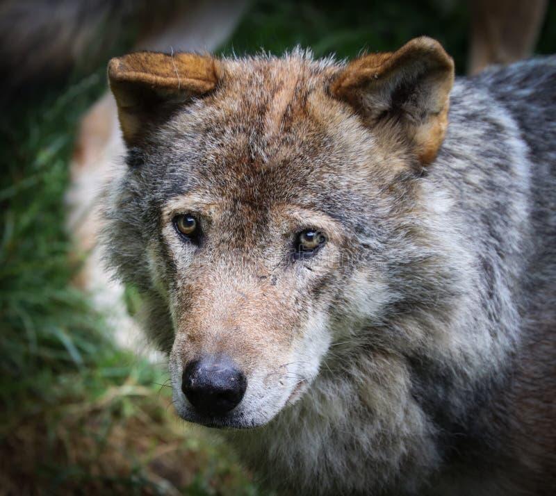De wolfszweer van wolfscanis, als de grijze/grijze wolf, houtwolf, of toendrawolf die ook wordt bekend stock fotografie