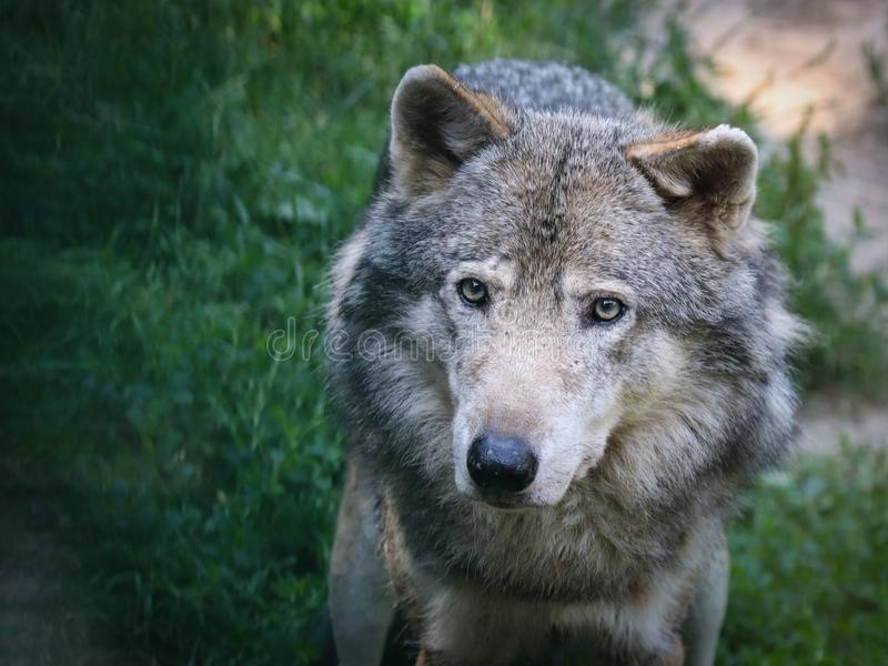 De wolfszweer van wolfscanis, als de grijze/grijze wolf, houtwolf, of toendrawolf die ook wordt bekend royalty-vrije stock foto's