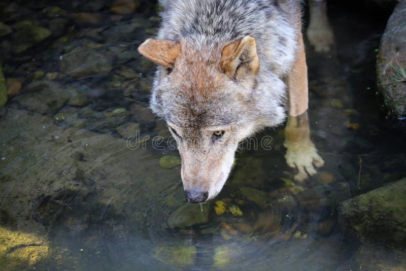 De wolfszweer van wolfscanis, als de grijze/grijze wolf, houtwolf, of toendrawolf die ook wordt bekend stock afbeeldingen