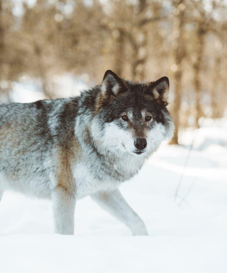 De wolven van het Noorden stock foto