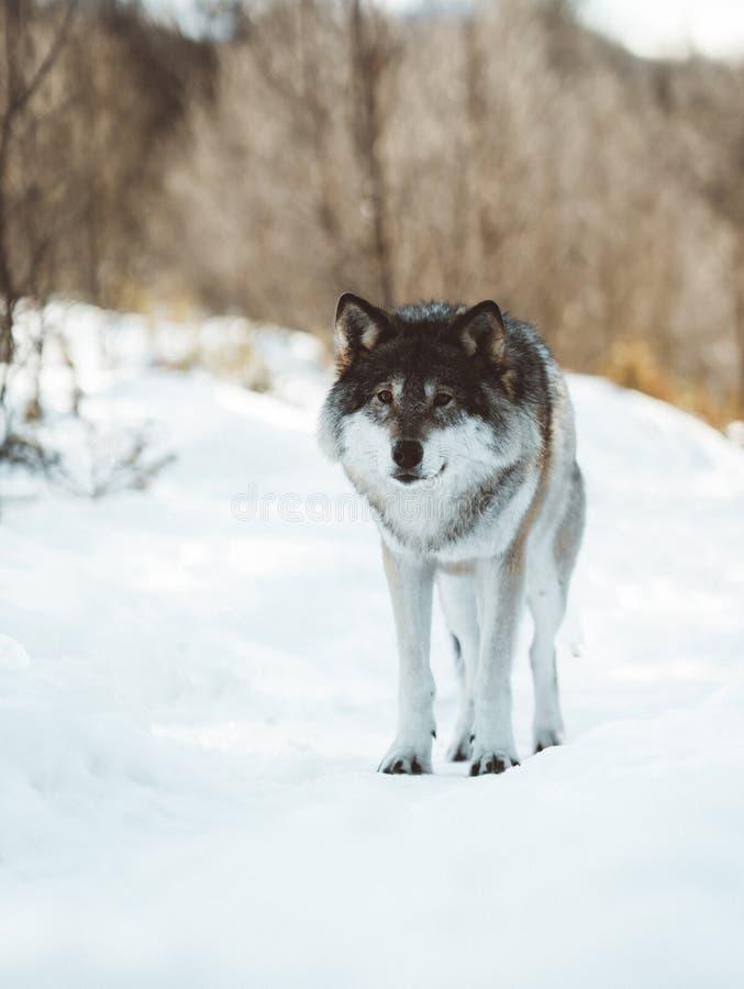 De wolven van het Noorden stock afbeeldingen