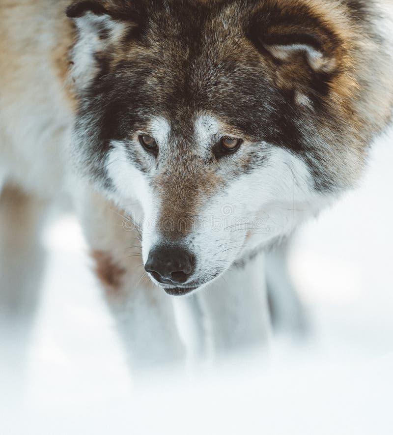 De wolven van het Noorden stock afbeelding