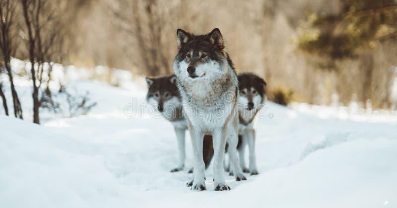 De wolven van het Noorden royalty-vrije stock foto's