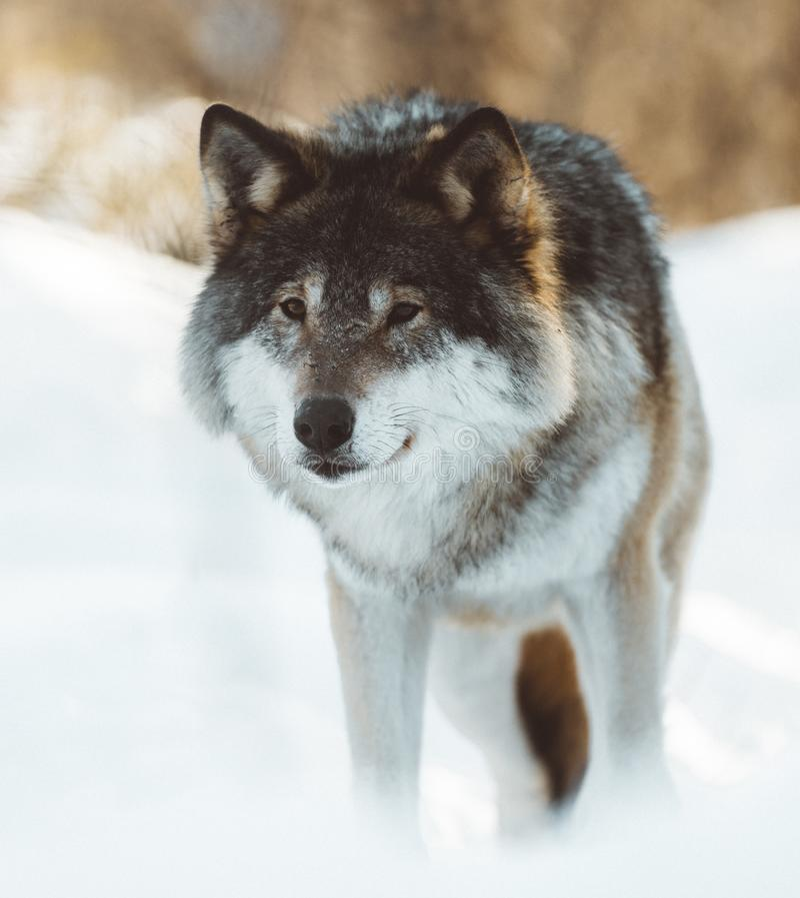 De wolven van het Noorden stock fotografie