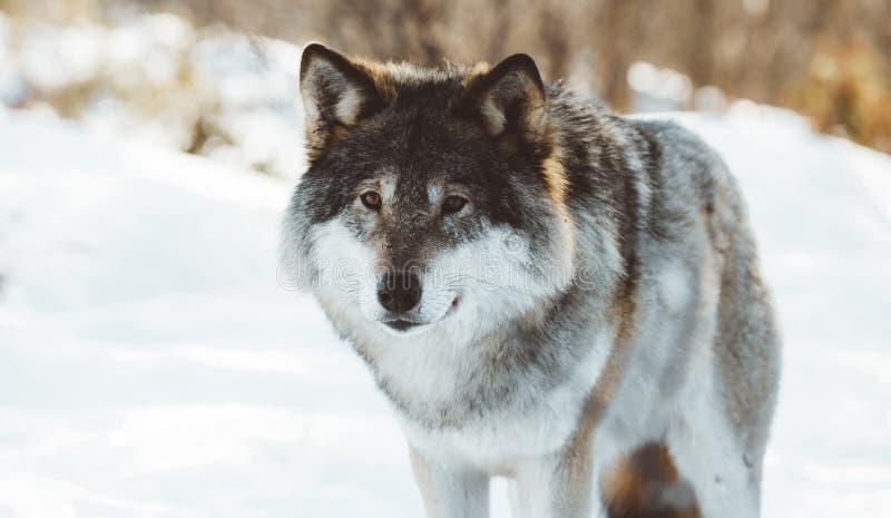 De wolven van het Noorden royalty-vrije stock fotografie