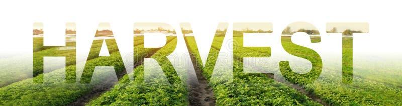 De woordoogst op de achtergrond van een aardappelaanplanting Jaarlijkse Vakantieoogst in verschillende culturen het oogsten, het  royalty-vrije stock afbeelding