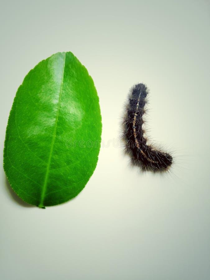 De worm van het puntpatroon op groene bladeren op witte achtergrond stock foto's