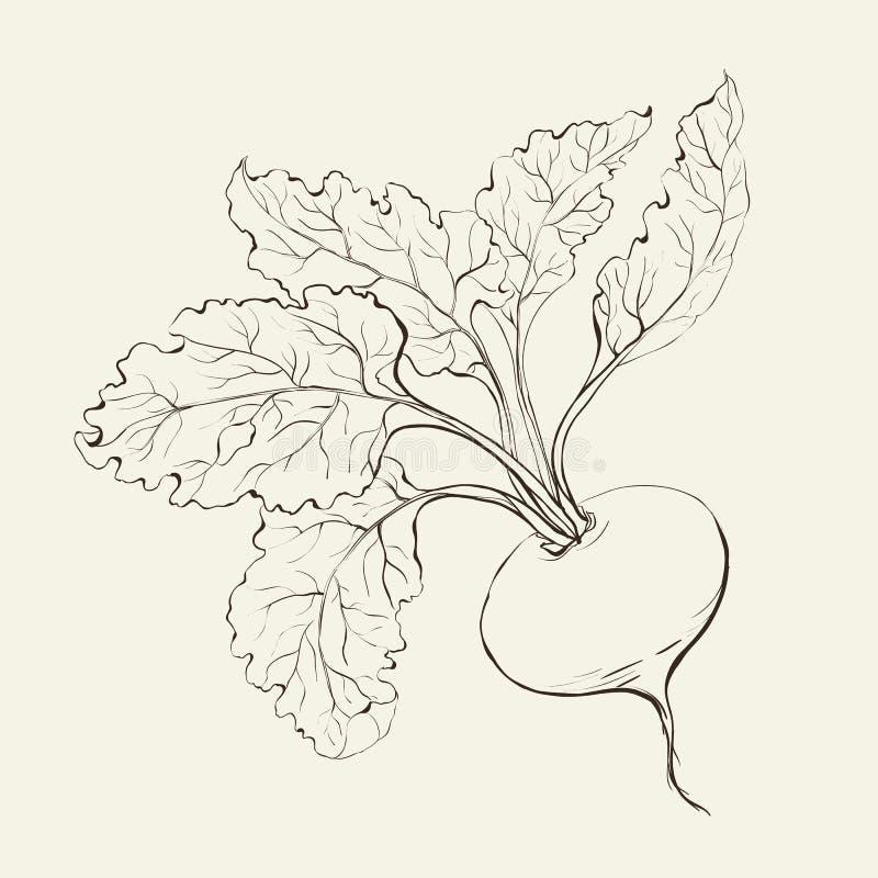 De wortel van de biet. royalty-vrije illustratie