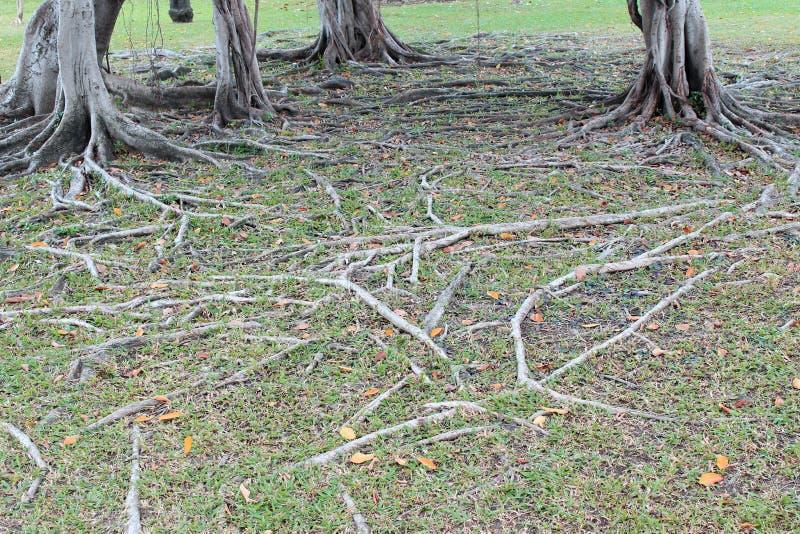 De wortel van de boom royalty-vrije stock afbeelding