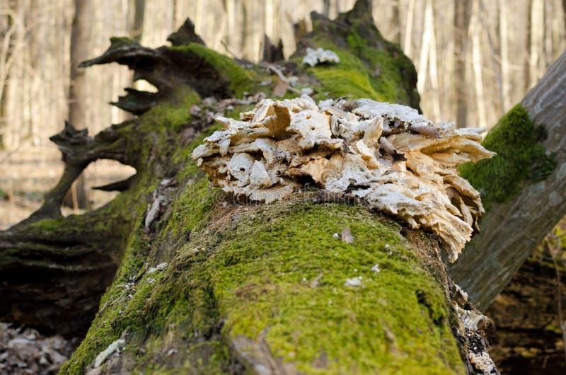 De wortel van een gevallen die boom met mos wordt behandeld royalty-vrije stock foto