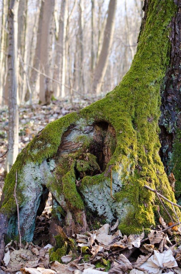 De wortel van een oude die boom met mos wordt behandeld stock afbeelding