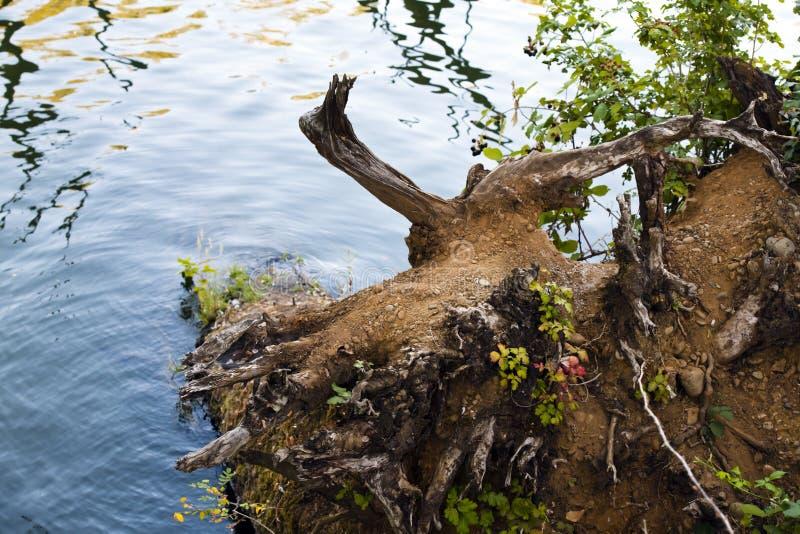 De wortel van gevallen grote boom op de meerkust royalty-vrije stock afbeelding