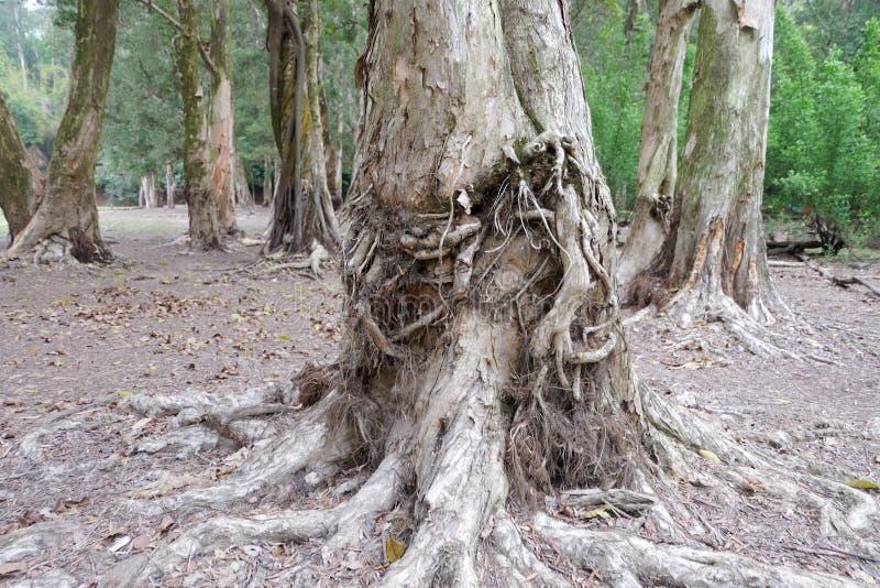 De wortels van de Biaboom stock afbeelding