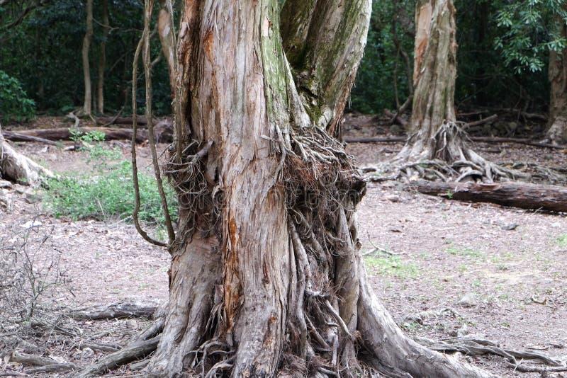 De wortels van de Biaboom royalty-vrije stock foto