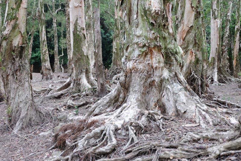 De wortels van de Biaboom royalty-vrije stock afbeeldingen