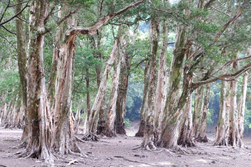 De wortels van de Biaboom stock foto