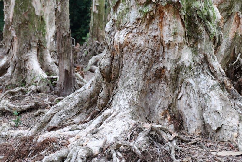 De wortels van de Biaboom stock afbeeldingen