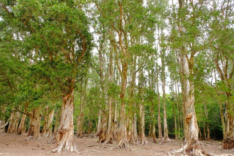 De wortels van de Biaboom royalty-vrije stock afbeelding