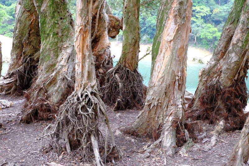 De wortels van de Biaboom royalty-vrije stock foto's