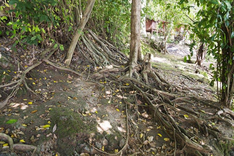 De wortels van bomen stock afbeelding