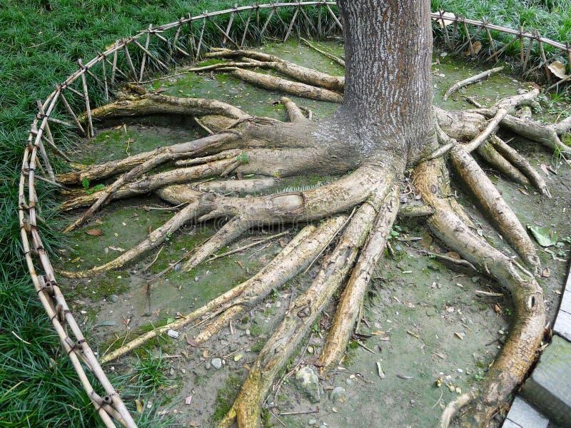 De wortels van de boom stock afbeeldingen