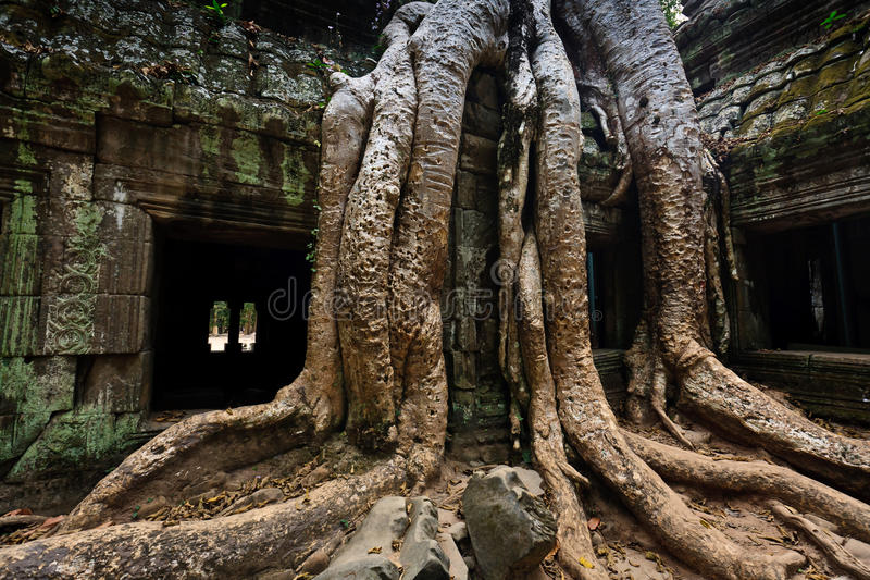 De wortels van de boom wikkelen de tempel Angkor van Ta Prohm stock afbeelding