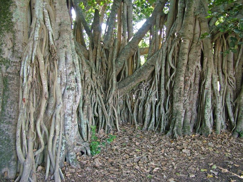 De wortels van de vijgeboom stock fotografie