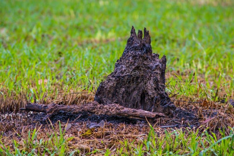 De wortels van droog hout zijn gebrande Groene installatiezaailing en gebrande bomen stock foto's