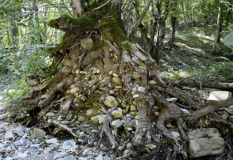 De wortels van een boom stock afbeeldingen