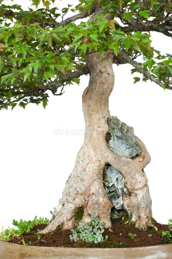 De wortels van een drietandesdoorn groeit over een rots stock afbeeldingen