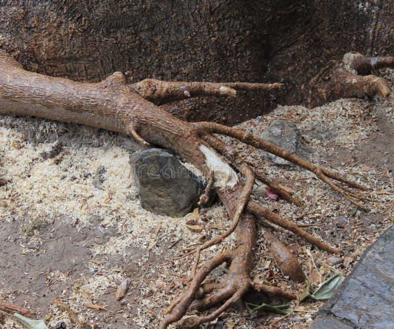 De wortels van een gevallen boom na een onweer royalty-vrije stock afbeeldingen